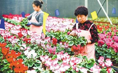 """霸州:40万盆鲜花扮靓京津""""两节""""市场"""
