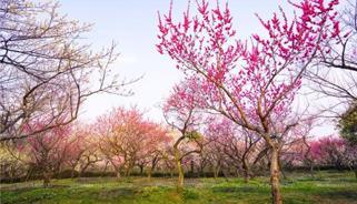 南京1533亩梅花山步入盛花期 花期持续至3月中旬