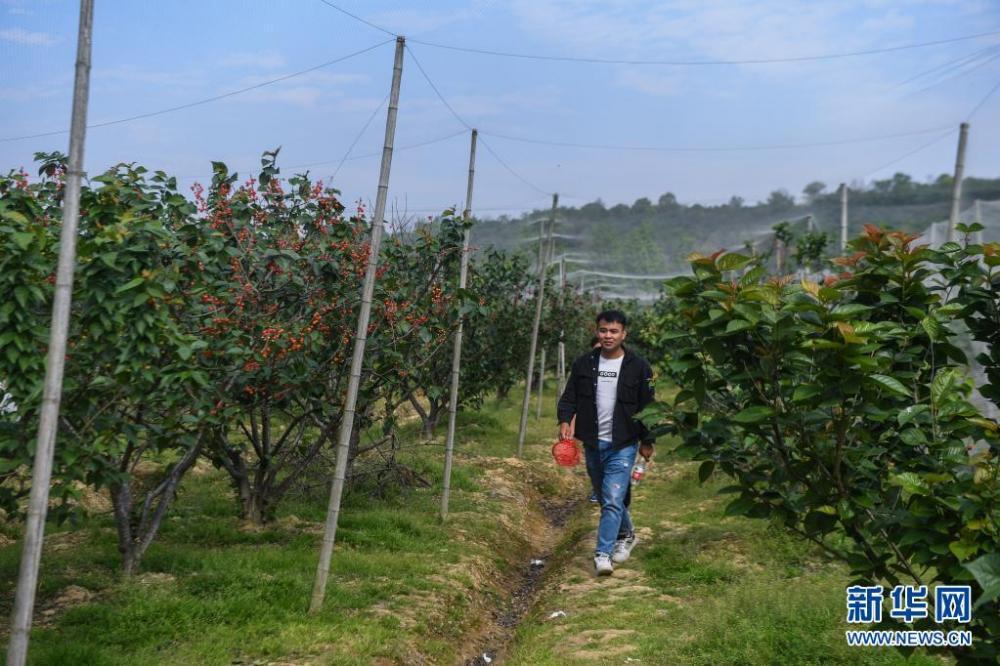 浙江长兴:樱桃丰收富农家