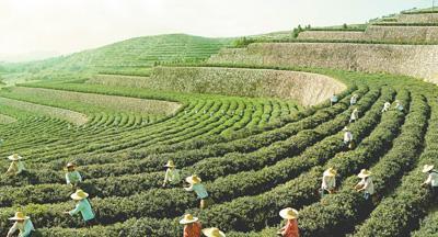"""让好生态变成""""金饭碗""""——安徽六安农业农村高质量发展调查(田间追踪高质量)"""