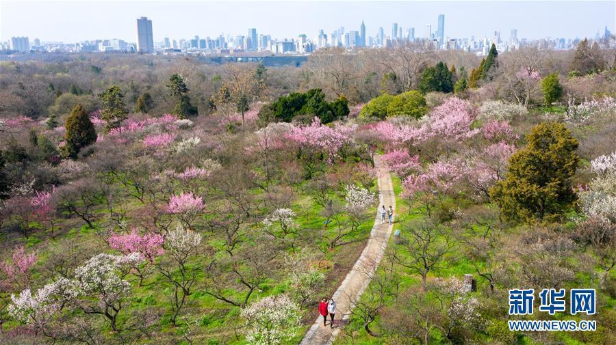 南京:梅花绽放春意浓