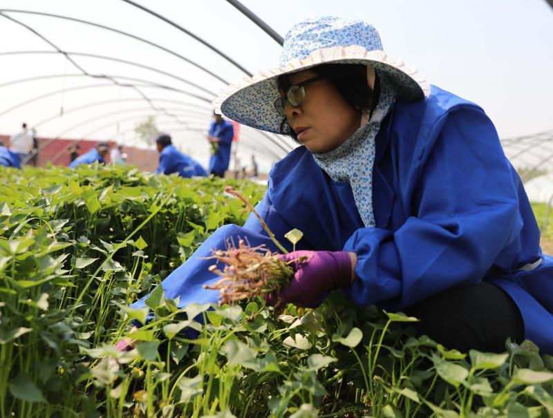 河北固安:小小紅薯秧 帶來大效益