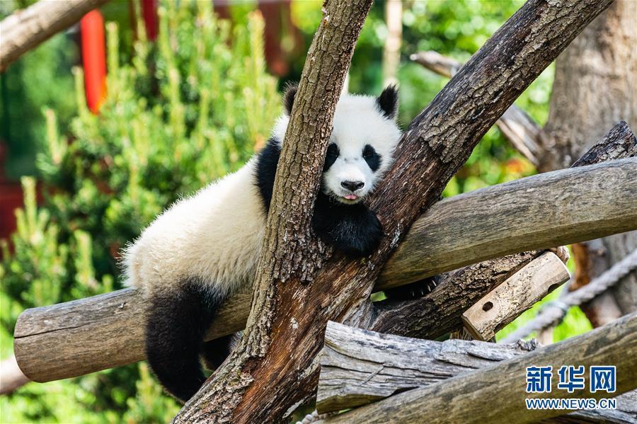 德国:动物园重新开 大熊猫迎客来