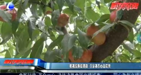仙桃成熟却滞销 百余桃农心急如焚