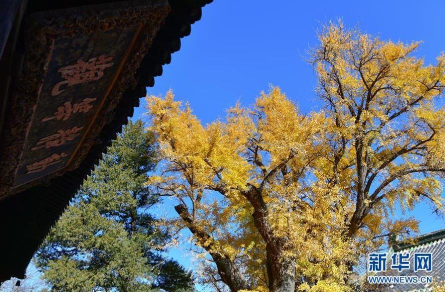 北京:古寺银杏引客来