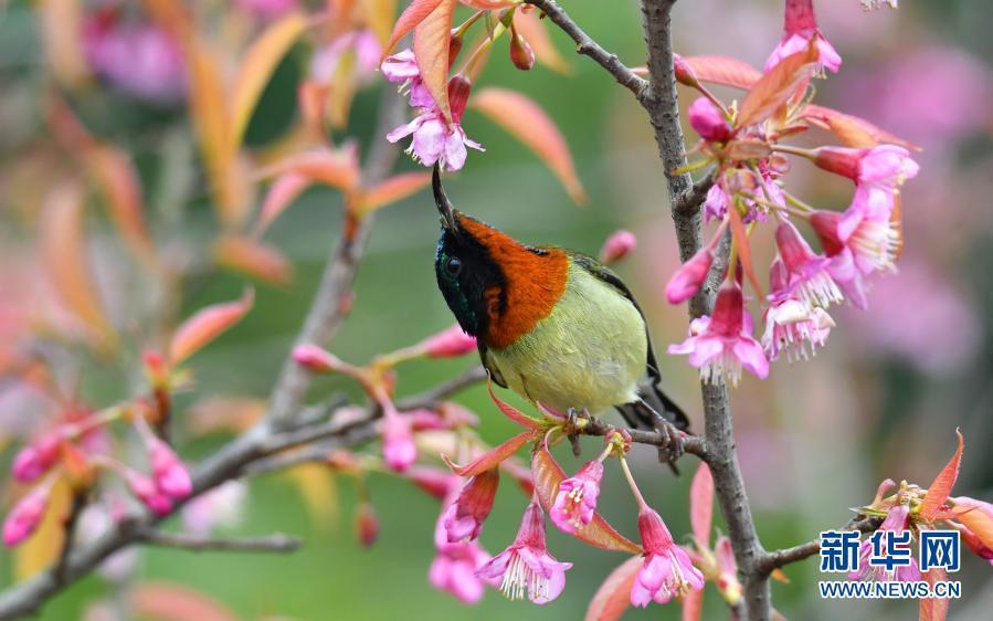 贵阳:冬樱花开引鸟来