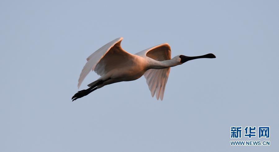 海南:黑脸琵鹭湿地越冬