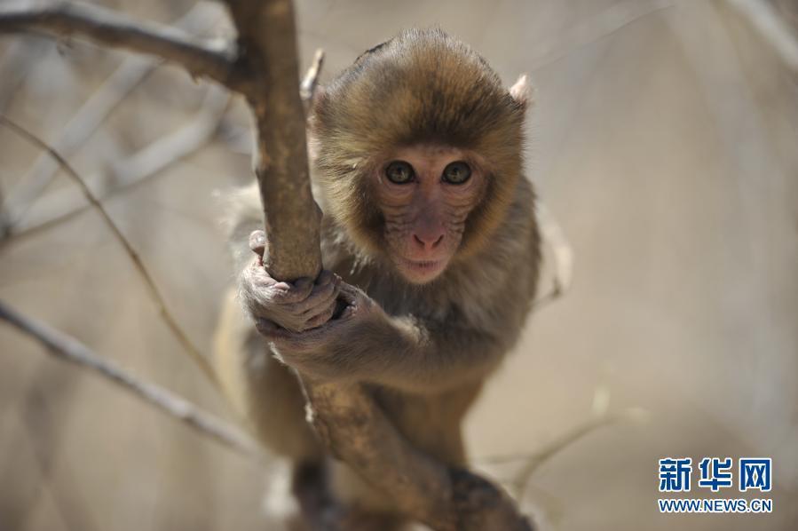 河北双滦:冬日猴趣