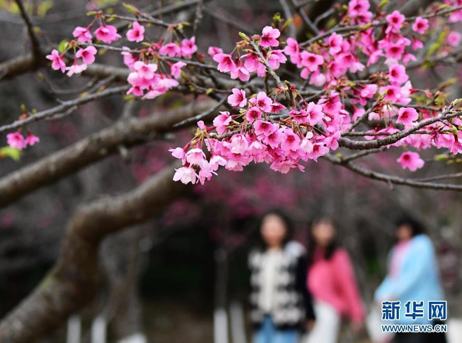 福州:赏樱正当时