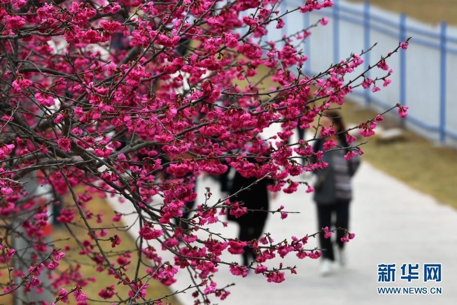 福建永福:樱花绽放迎春来