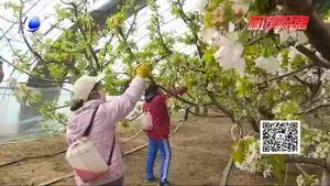 香河縣安平鎮:櫻桃花開香滿園  托起豐收希望