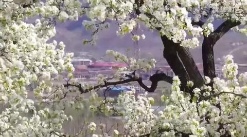 河北迁西:梨花吐芳满园春