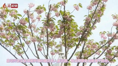 廊視頻   廊坊開發區櫻花大道櫻花綻放添美景